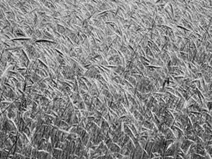Zrálo obilí